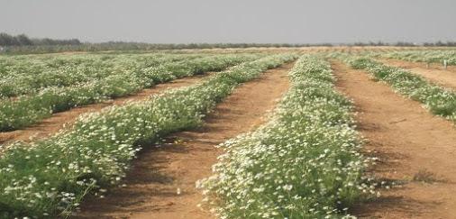 chamomile flowers plant